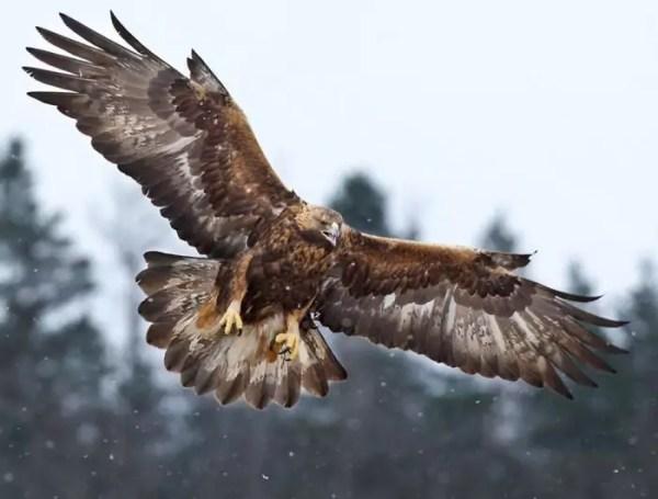 Беркут (Aquila chrysaetos): описание, виды, фото ...