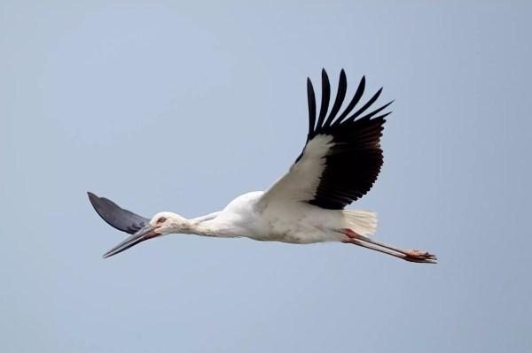 Птица Дальневосточный аист: [фото, описание и характеристики]