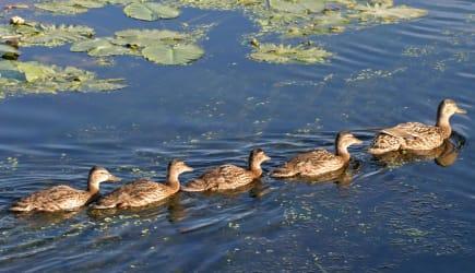 5 ducks