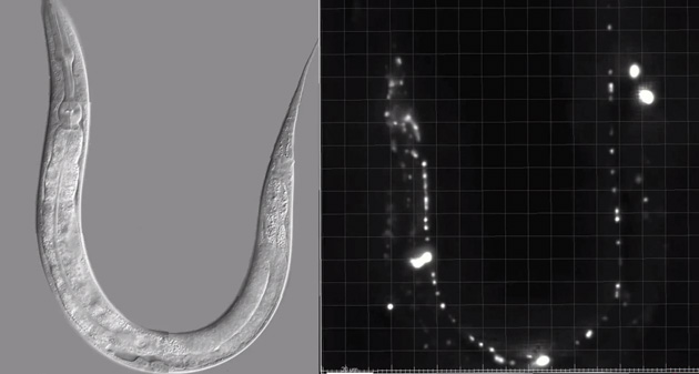 MIT's neural activity map for a c. elegans worm