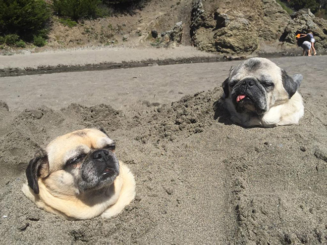 stuck pets, pets stuck pretending everything is cool, pugs in sand
