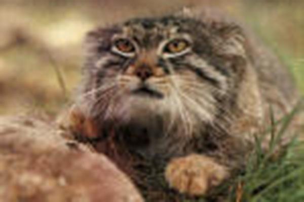 incredible animal journeys, amazing animals, kuzya the cat