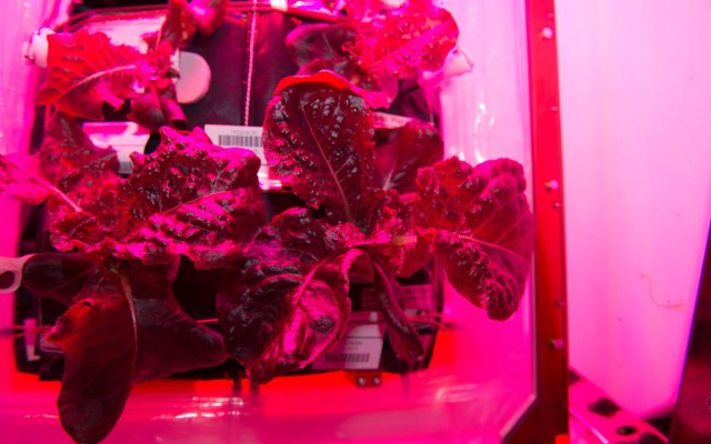 NASA's space-grown red romaine lettuce