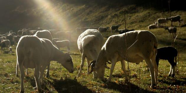 Un rebaño de ovejas en una granja en Salardú, pueblo de montaña del Valle de Arán (Lleida).