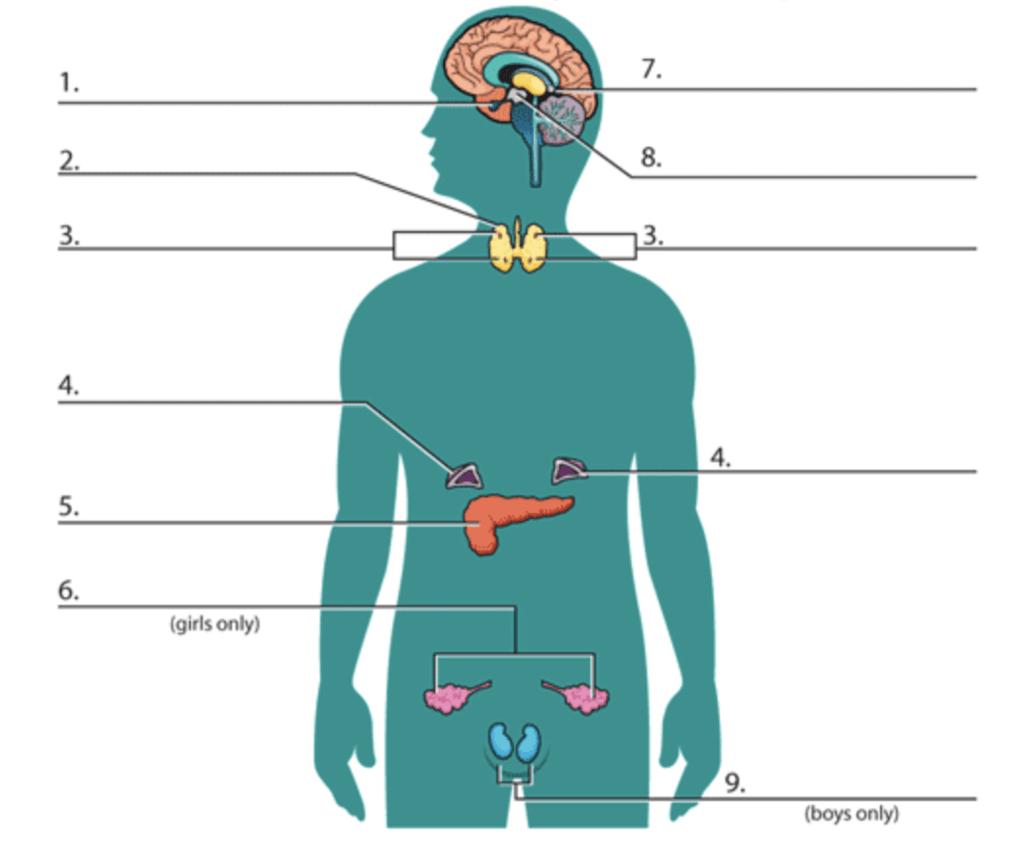 Endocrine System Diagram To Label