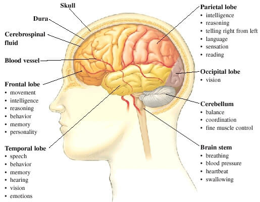 Which lobe of the brain controls motor activity quizlet pltw parts functions of the brain diagram quizlet ccuart Images