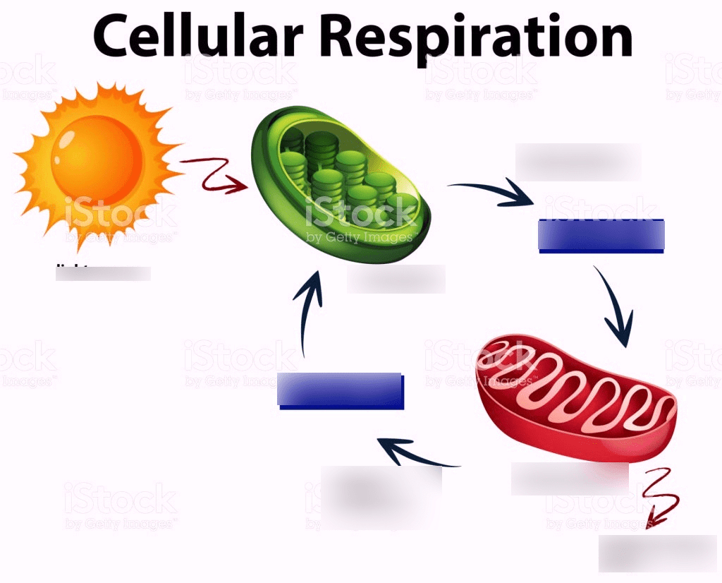 Middle School Cellular Respiration And Photosynthesis