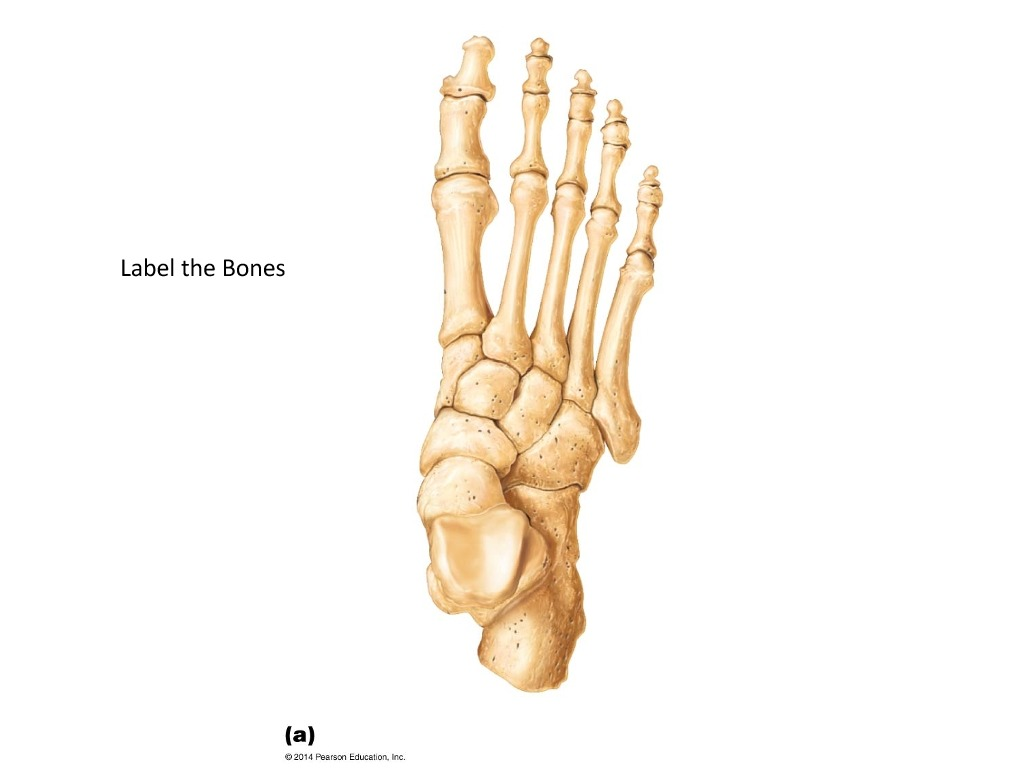 31 Label Foot Bones