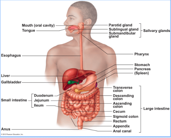 Diagram Of Liver In Human Body / Alcoholic Liver Disease ...