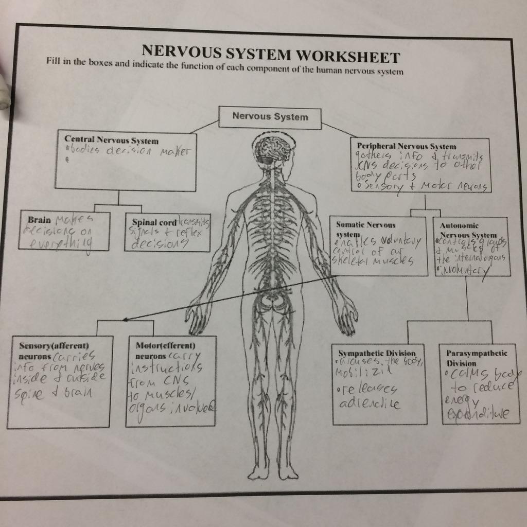 What Organs Make Up The Nervous System Quizlet