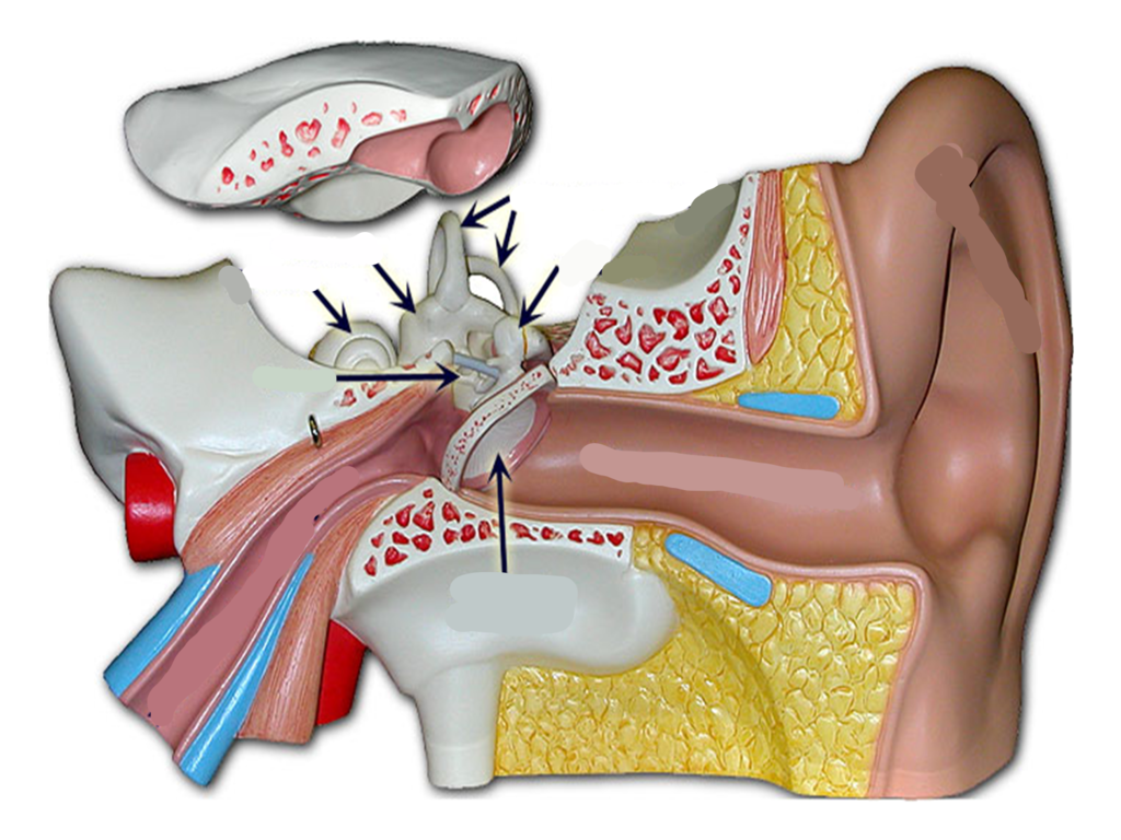 Ear Diagram With Labels And Functions