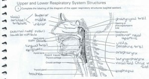 Anatomy Of The Larynx Quizlet  impremedia
