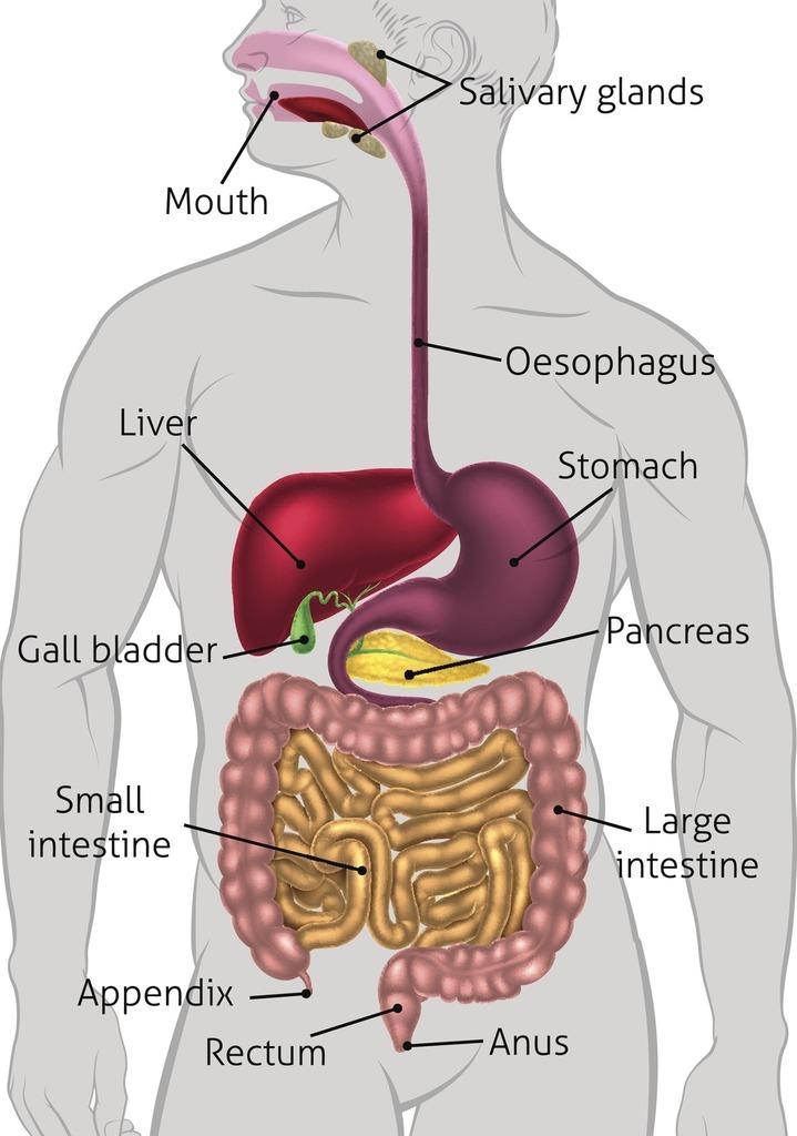 Large Intestine Function Quizlet | Bruin Blog