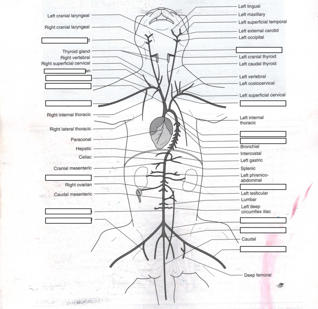 30 Cat Veins And Arteries Diagram