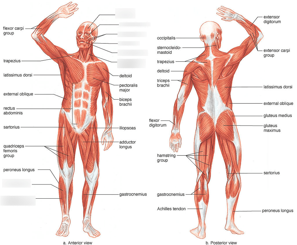 32 Muscular System Quiz Label
