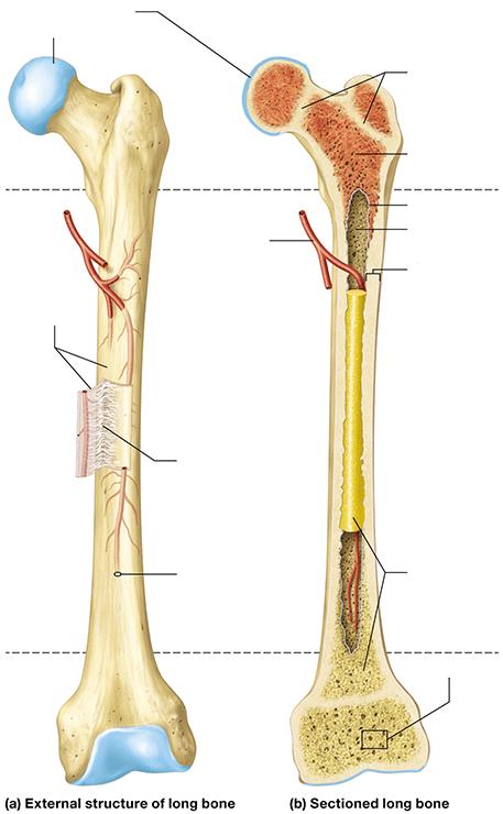 #a labeled long bone #long bone labeled diagram #long bone. Diagram Of A Long Bone - Hanenhuusholli