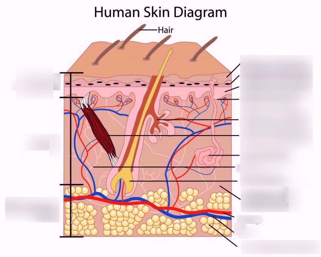 Anatomy Of The Integumentary System