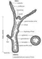 Phylum: Porifera & Cnidaria (Lab 2) flashcards | Quizlet
