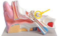 Ear Anatomy Model Flashcards | Quizlet