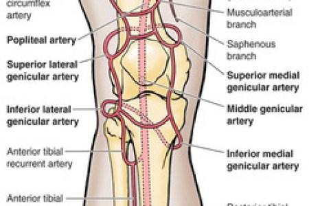 interior inferior medial genicular artery » Full HD MAPS Locations ...