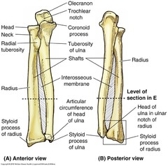 Image result for ulna labelled
