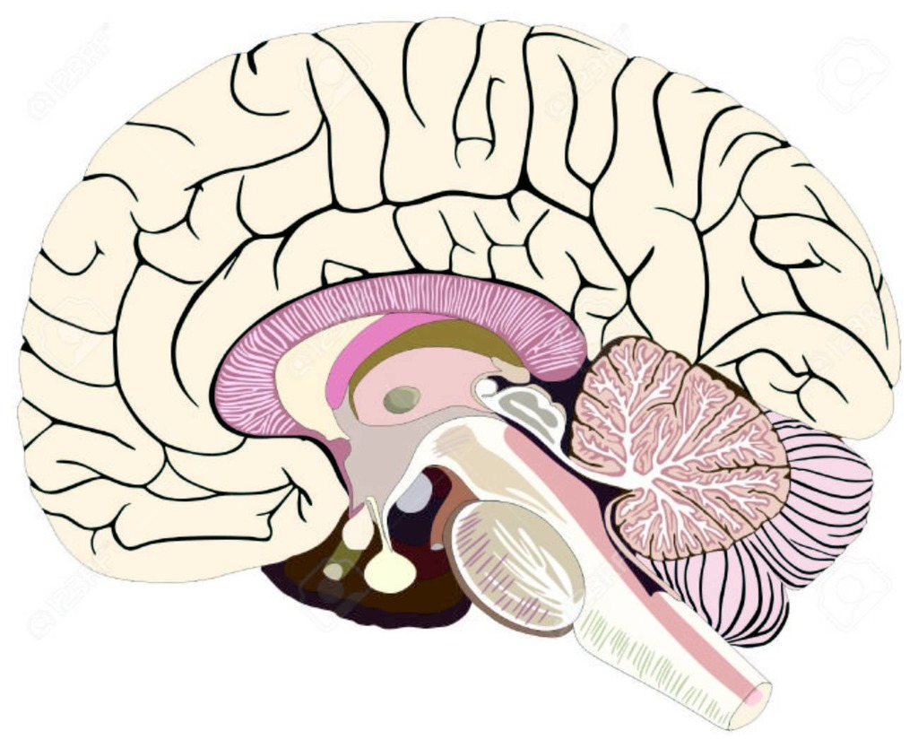 Brain Diagram Labeled Quizlet