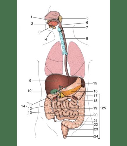Digestive System Anatomy Quizlet - Anatomy Drawing Diagram