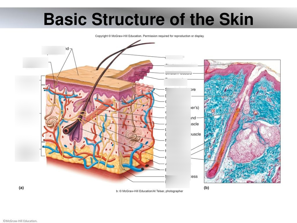 Chapter 6 Integumentary System Chapter 6 Integumentary