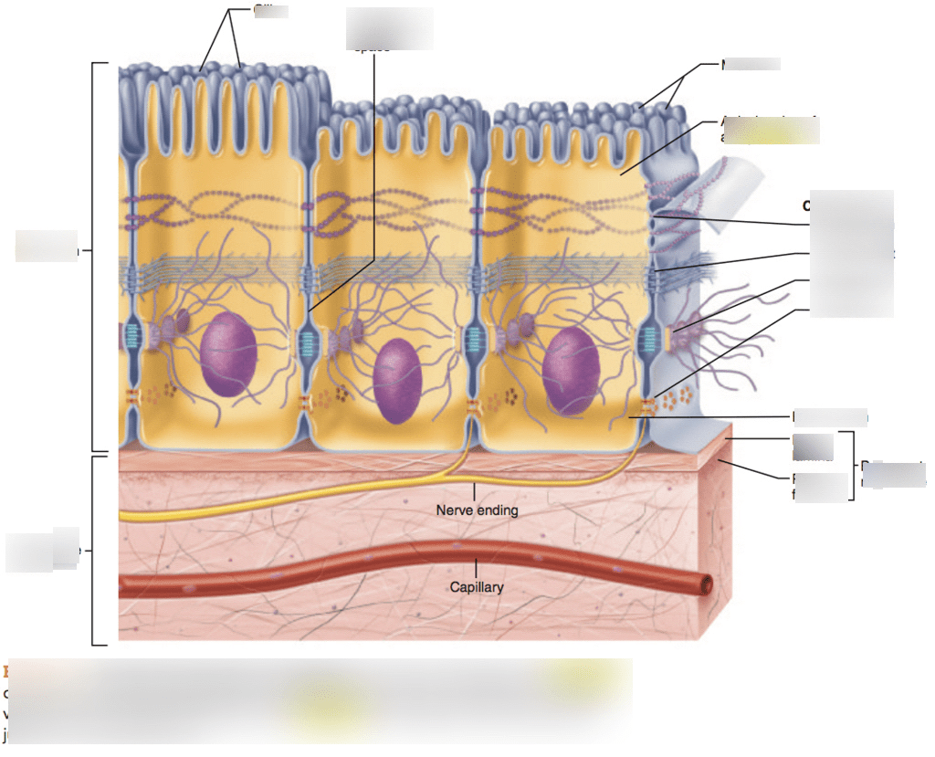Structure Of Epithelial Tissue Quizlet