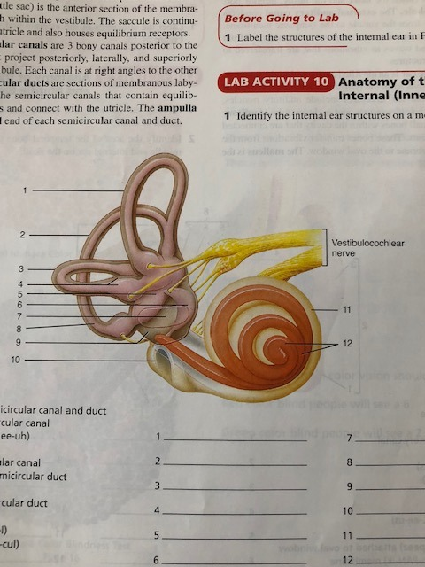 Anatomy Of Ear Quizlet