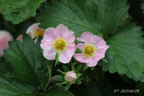 四季成りいちご 桃娘の花