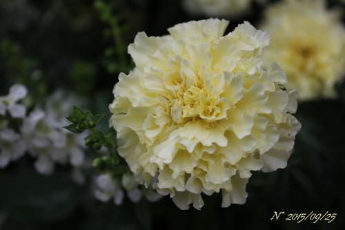 マリーゴルド ホワイトバニラ