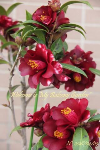 小さい木にギッチリ咲いたナイトライダー & 最後のクリロー*