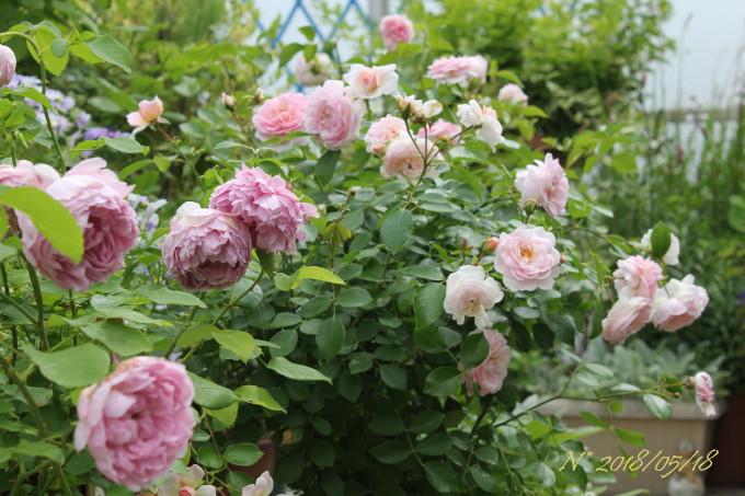 バラ ラブリーメイアンが咲く様子