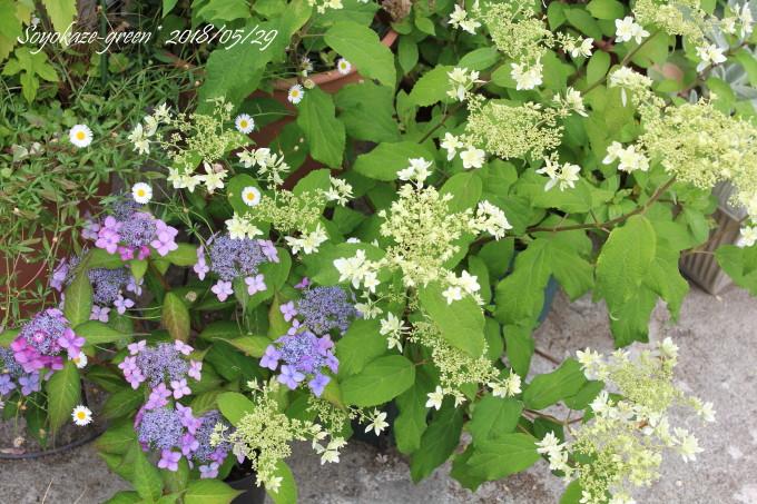 ヤマアジサイ星の煌きとアメリカアジサイ ヘイズスターバストの開花上から見たところ