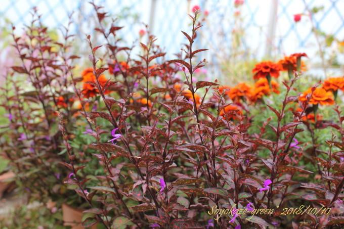 色が変わるマリーゴールドとヒポエステスの寄せ植え