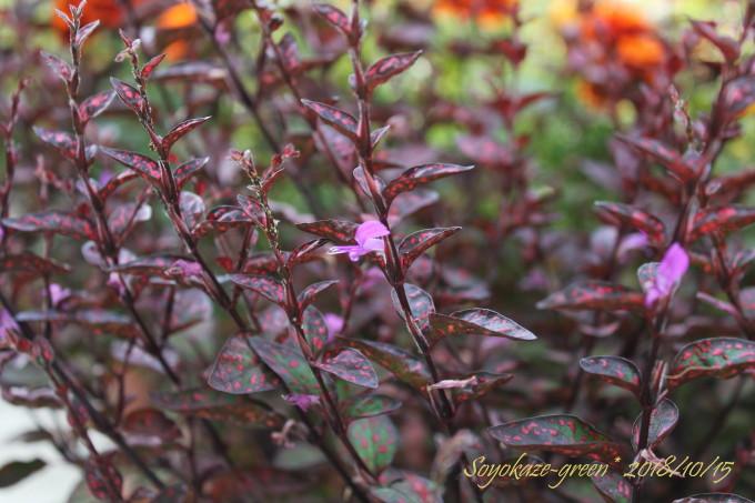 ヒポエステスの花
