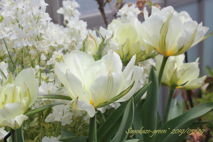 早咲き八重チューリップ ホワイトバレー