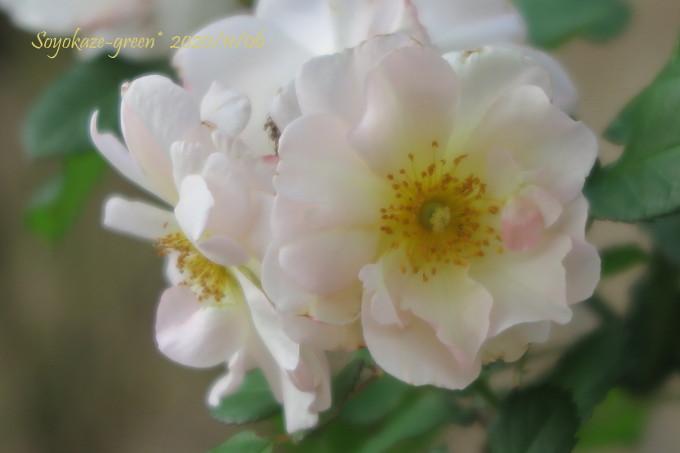 バラ ペネロープ