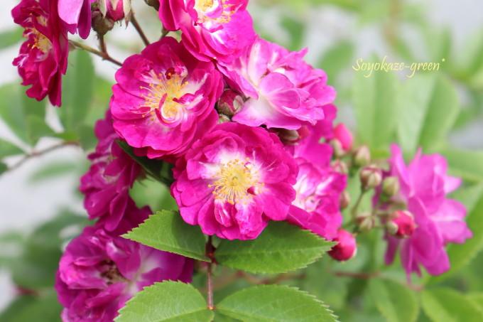 バラ ペレニアル ブルー Perennial Blue
