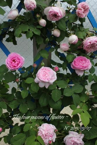 バラ マダム エルネスト カルバとピンクのバラたち