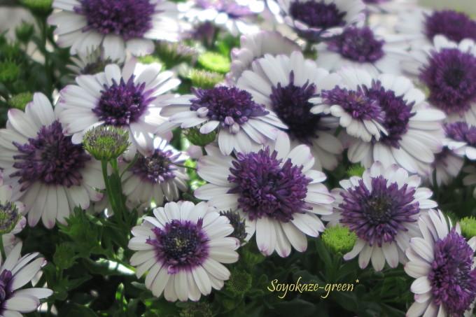 八重咲きオステオスペルマム 五月山緑地都市緑化植物園(池田市緑のセンター)