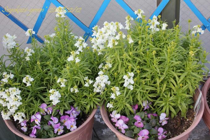 チューリップ、リナリア、ビオラの寄せ植え