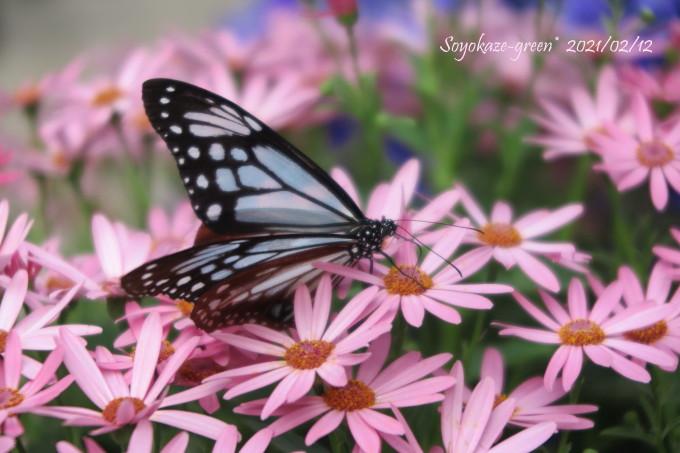 サイネリアの花とアサギマダラ