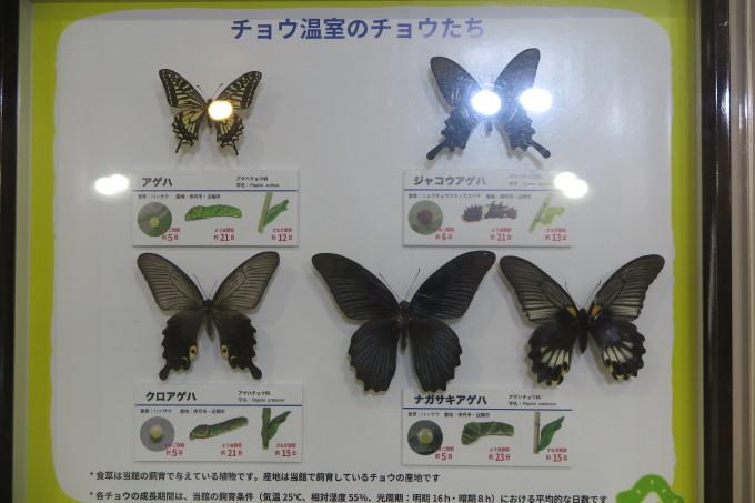 伊丹市昆虫館 チョウ温室のチョウたち