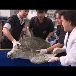 Turtle Dies After Eating 11 Pounds of Coins | National Geographic