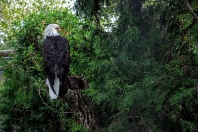 Toledo Zoo eagle