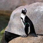 Toledo Zoo Penguin