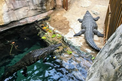 Tierpark Hagenbeck alligators