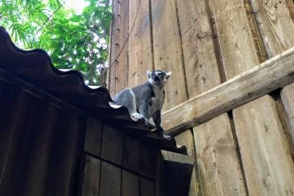 lemur Tierpark Hagenbeck
